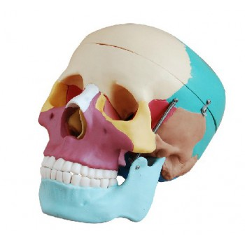 Joint Model XC-104C Colored Skull Bones