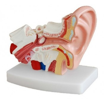 Desktop Ear Joint Model Medical Anatomy XC-303D