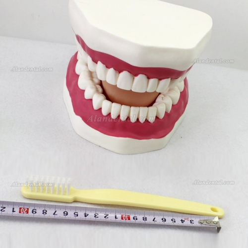 Oral Care Teeth Brushing Model With Large Toothbrush