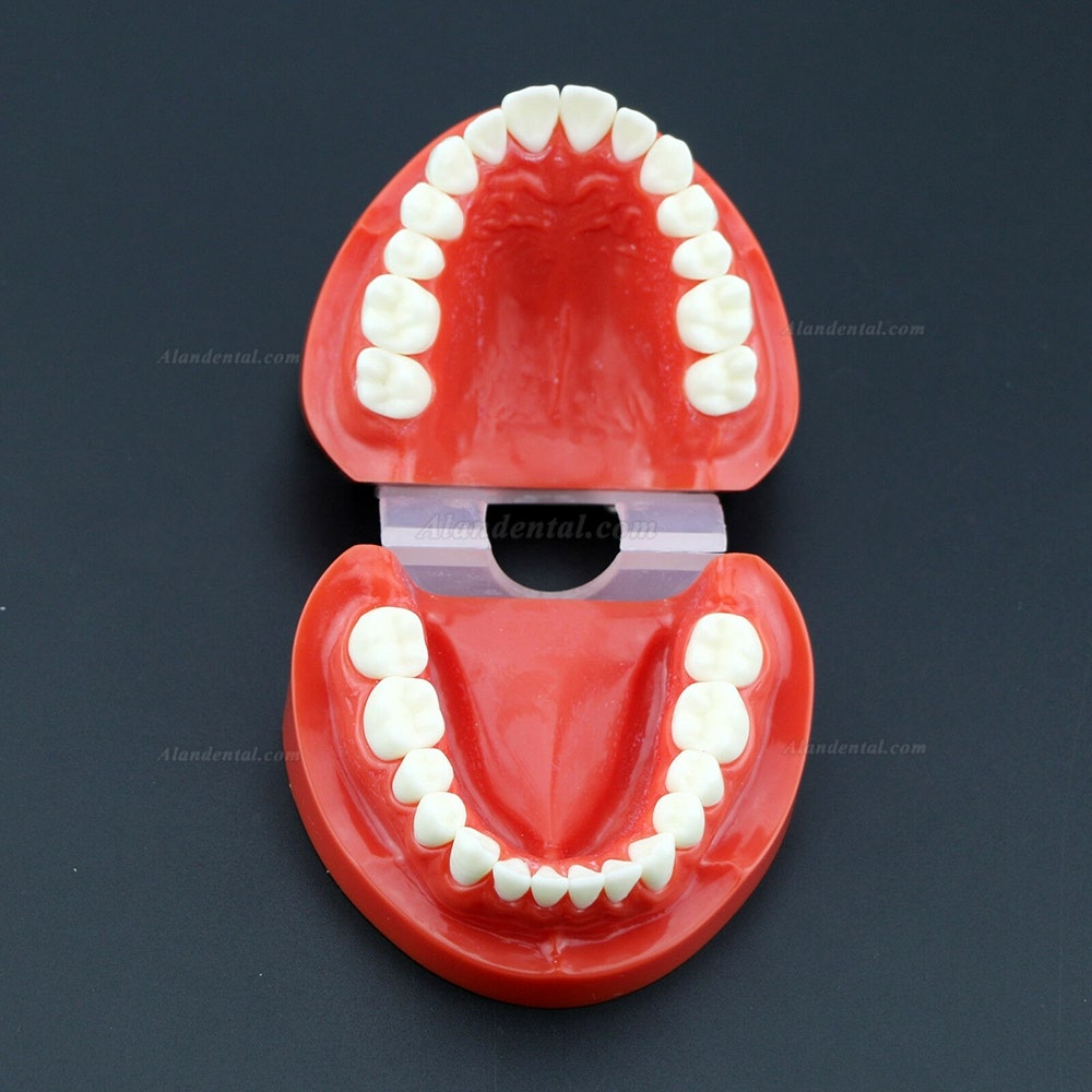 Dental Teach Study Adult Standard Typodont Demonstration Teeth Model 7004 Red